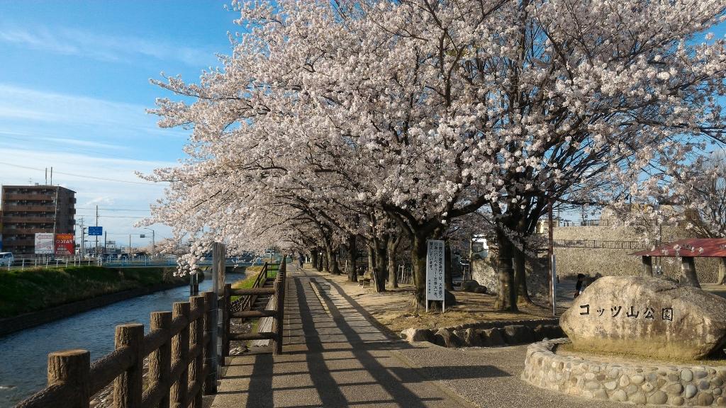 2017年桜1