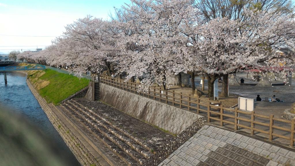 2017年桜2