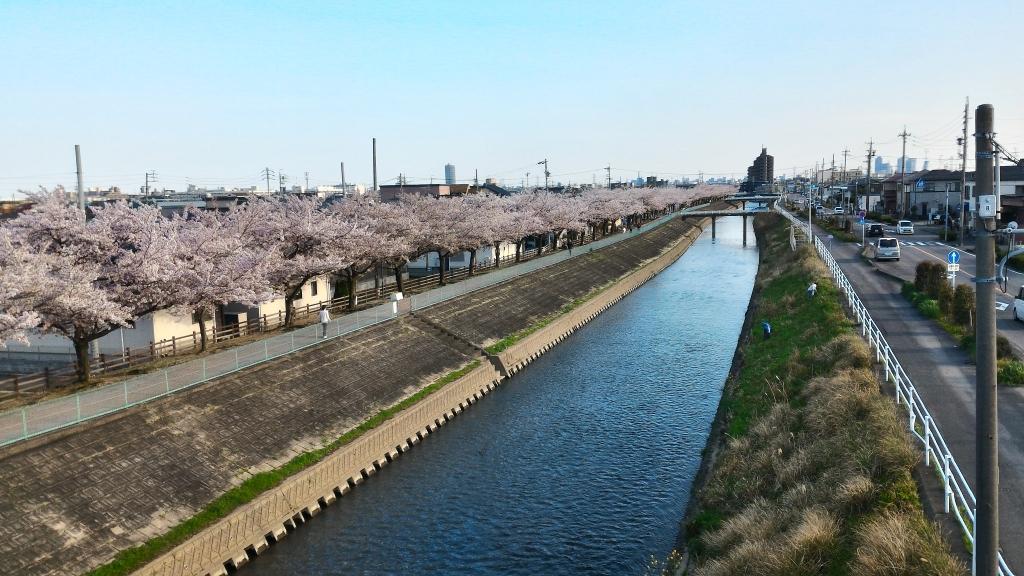 2017年桜3