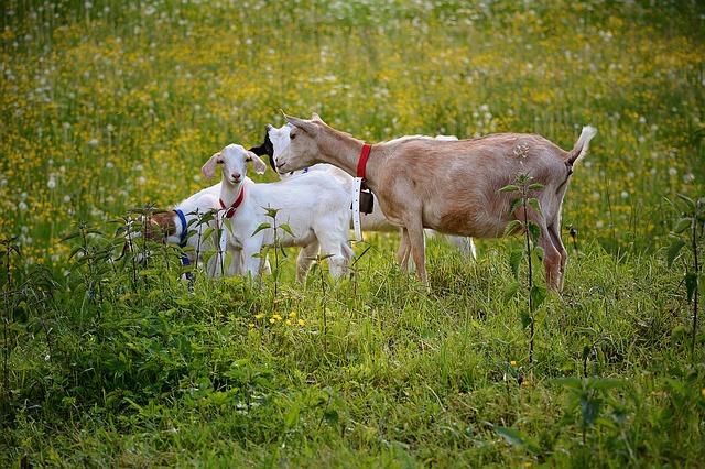 goats-811232_640.jpg