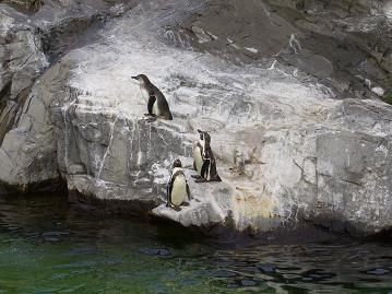 複数のペンギン