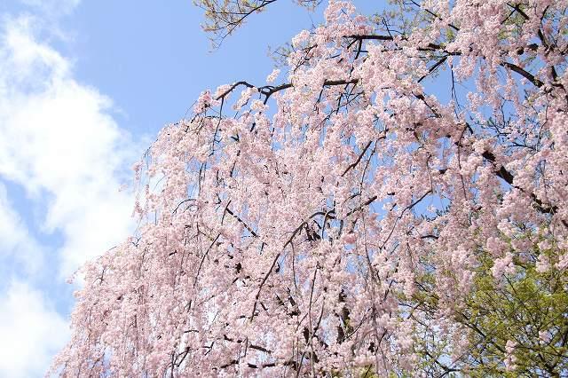 弘前公園の桜0502