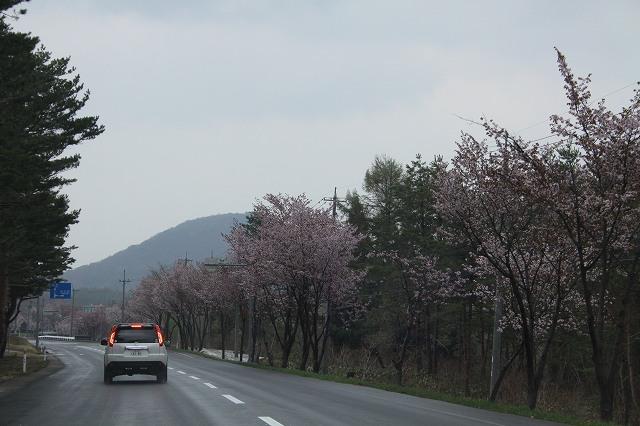 嶽きみロードの桜
