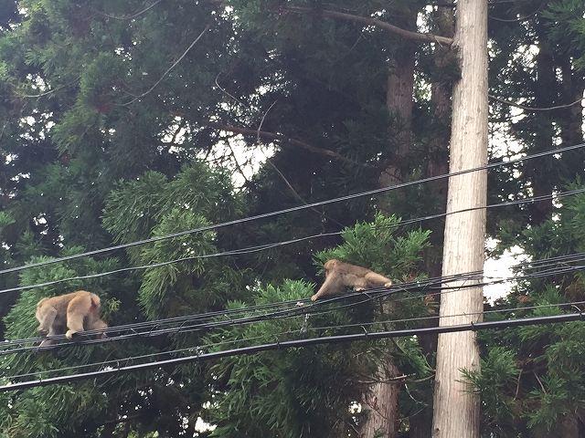 嶽地区の野生の猿2