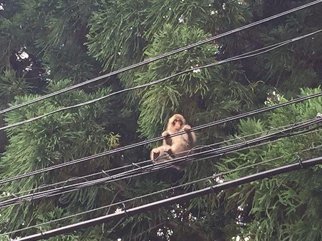 嶽地区の野生の猿