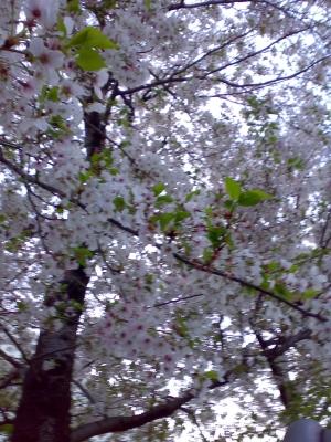 つるのはし址の桜の樹