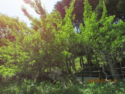 今年の梅の木。裏年にあたります。