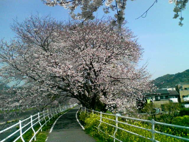 kawazoino sakura