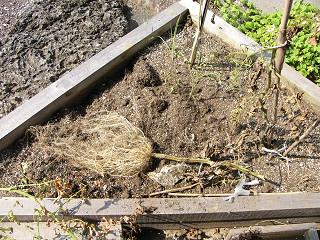 ミニトマトの根