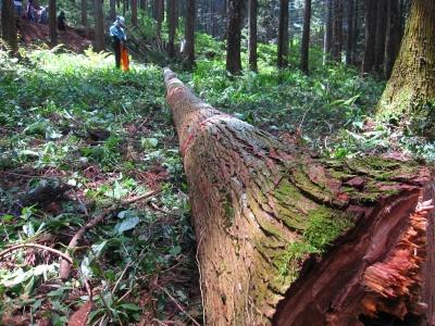 伐採見学2