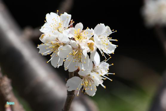 桜咲いたら・・・♪