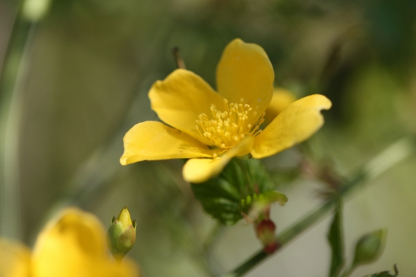 ヤマブキ 花