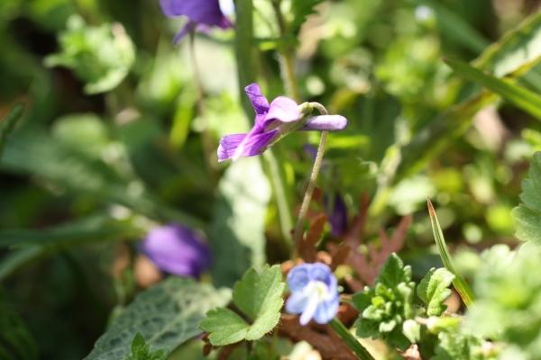 ノジスミレ 距と花茎
