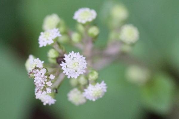 小さな花の集合