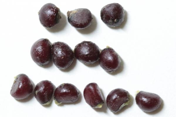 種子の比較.JPG