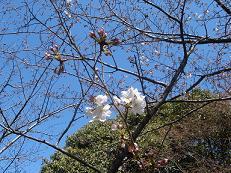 構内の桜2