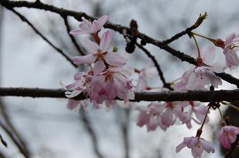 20070404桜
