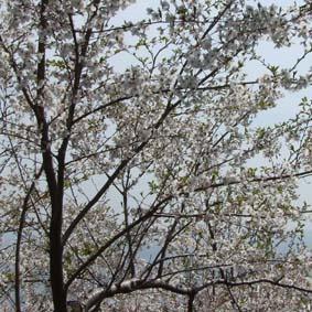 桜1959.jpg