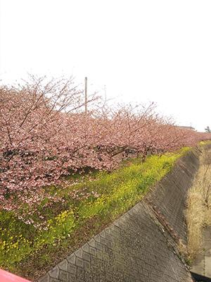 河津桜9.jpg