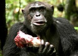 肉を喰らうチンパンジー
