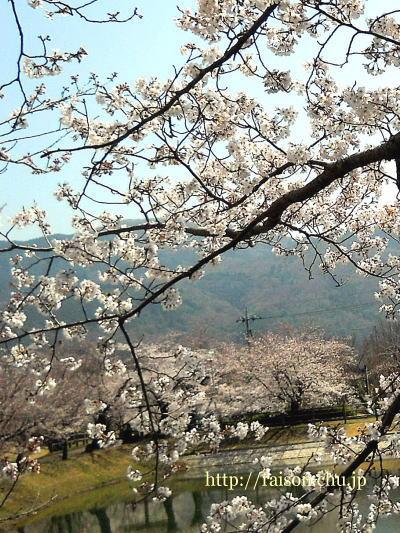 綺麗ですね〜 桜、最高です。