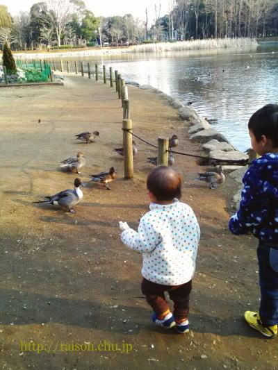 鴨に餌やり。