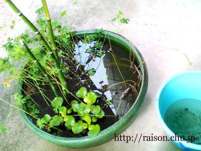 睡蓮鉢。。。和と水の癒し。
