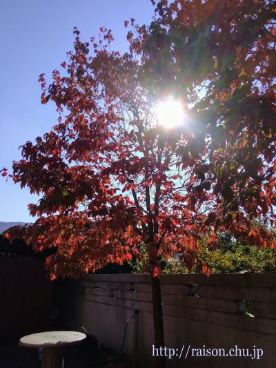 紅葉した花水木、日曜日の朝陽。