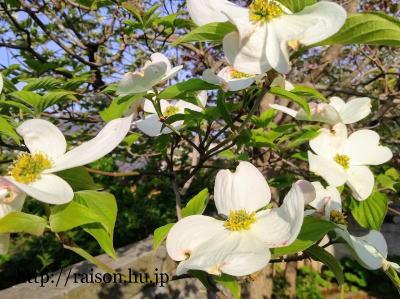 白い花水木がとても好き。
