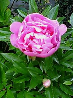 春に咲いた我が家の庭の芍薬です