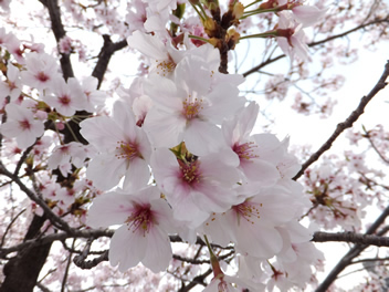 20140403お花見7