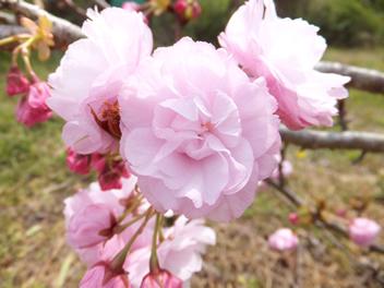 20140407八重桜1