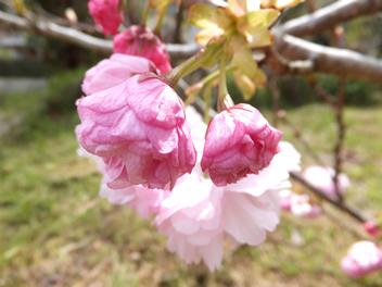 20140407八重桜2