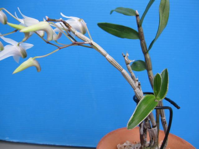セッコク「覆輪葉一点花」の新葉