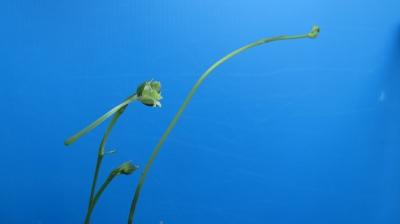 サギ草「緑兜咲き」
