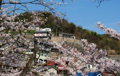2503桜01