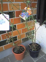 ブルーベリー苗木
