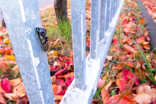 秋 エゾシロチョウ 蛹