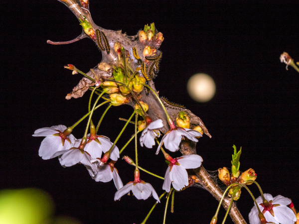 エゾシロチョウ 桜 幼虫