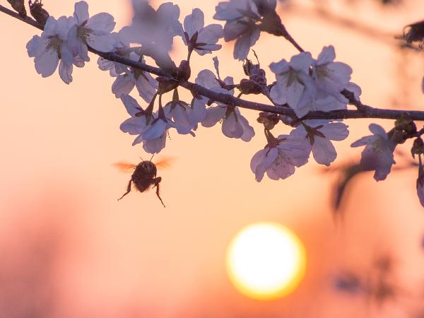 マルハナバチ 桜