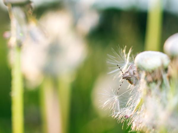 綿毛 タンポポ ブチヒゲカメムシ