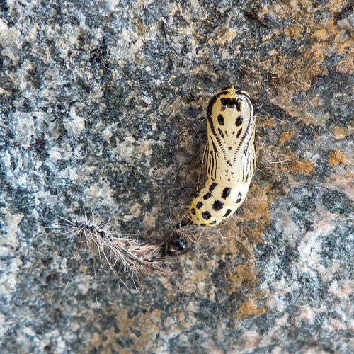 キアシドクガ 蛹