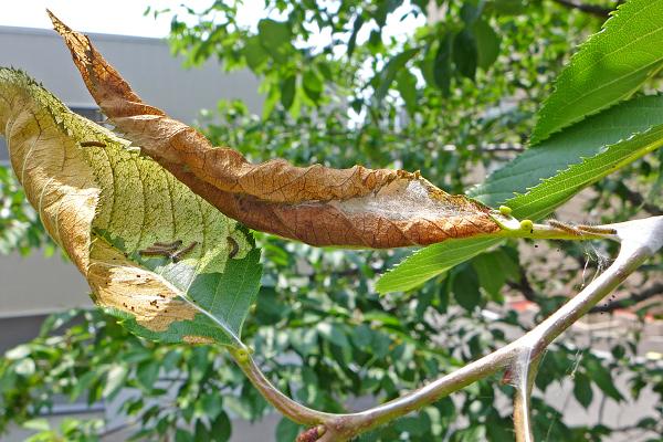 エゾシロチョウ 越冬巣 幼虫