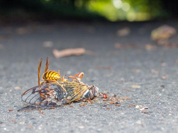 スズメバチ エゾゼミ