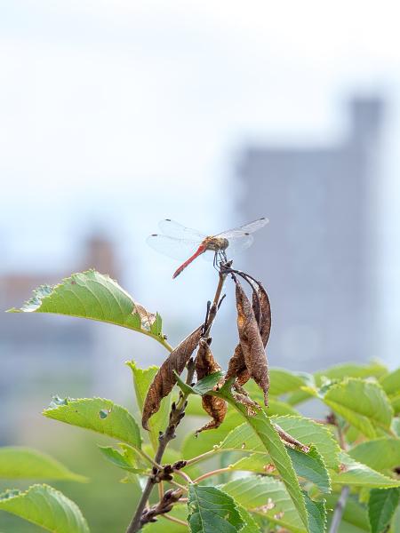 赤とんぼ エゾシロチョウ 越冬巣