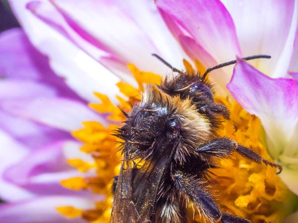 マルハナバチ ハチ 蜂