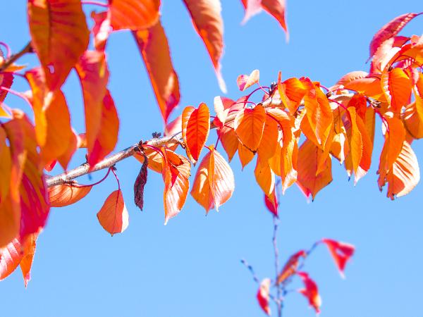 桜 紅葉 エゾシロチョウ 越冬巣