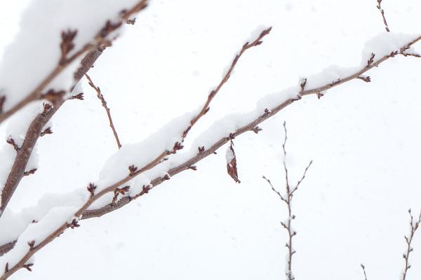 雪 エゾシロチョウ 越冬巣