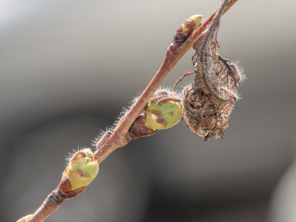 エゾシロチョウ 幼虫 越冬巣