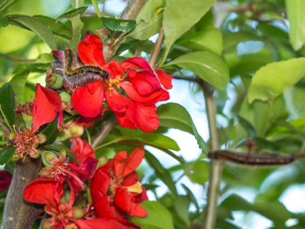 エゾシロチョウ ボケ 幼虫